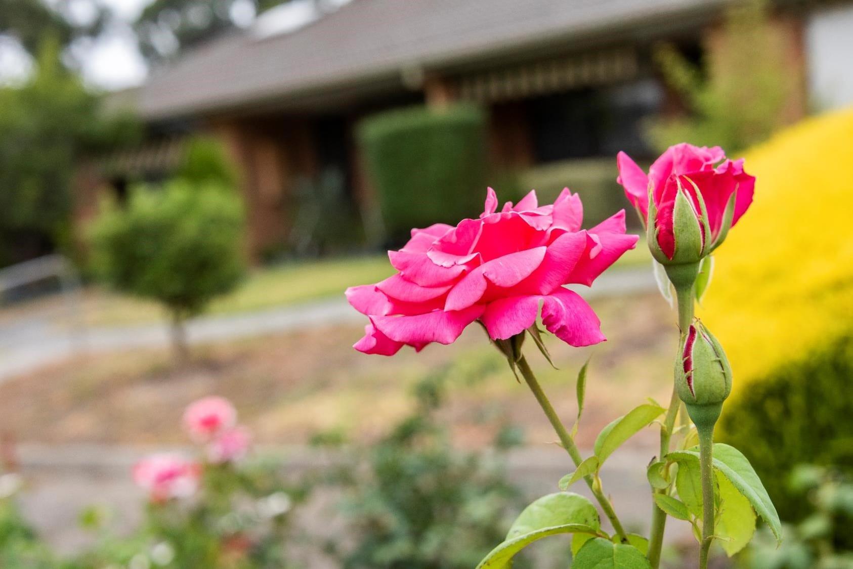 St Thomas Pink Flowers