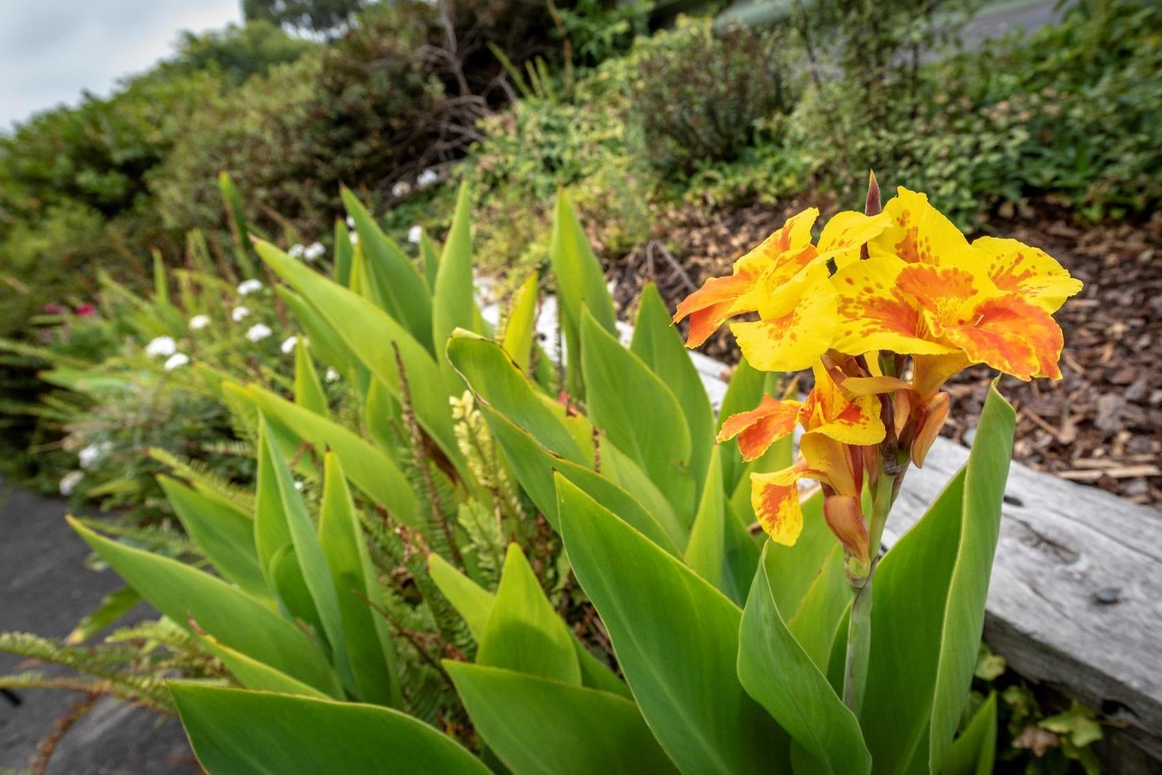 St Thomas Yellow Flowers