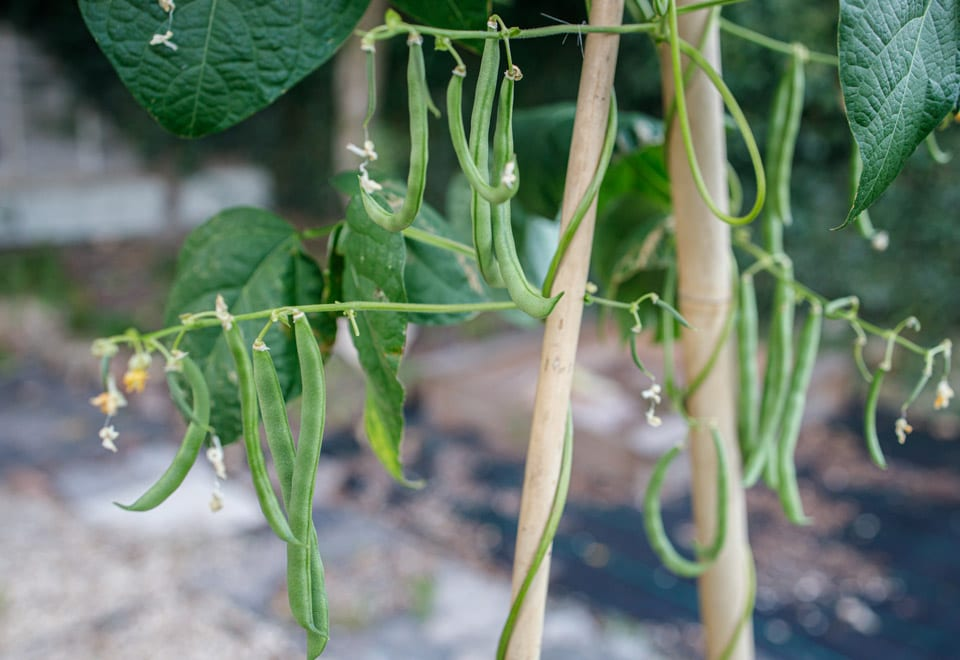Climbing vegies are great to grow in smaller space