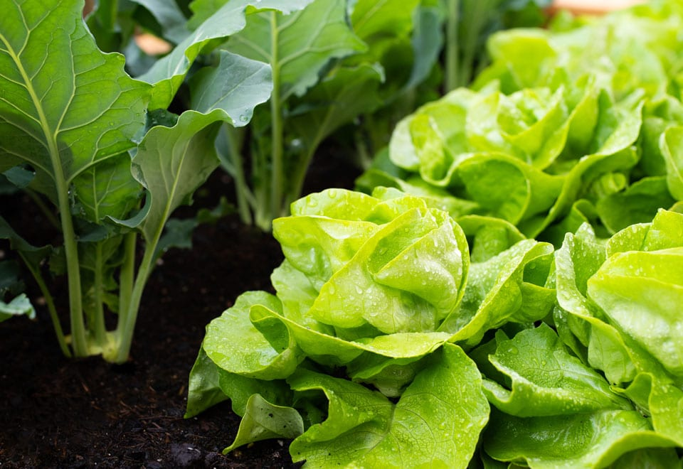 Lettuce is great for small space gardens